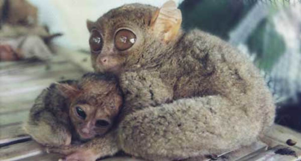Tarsier with a baby.