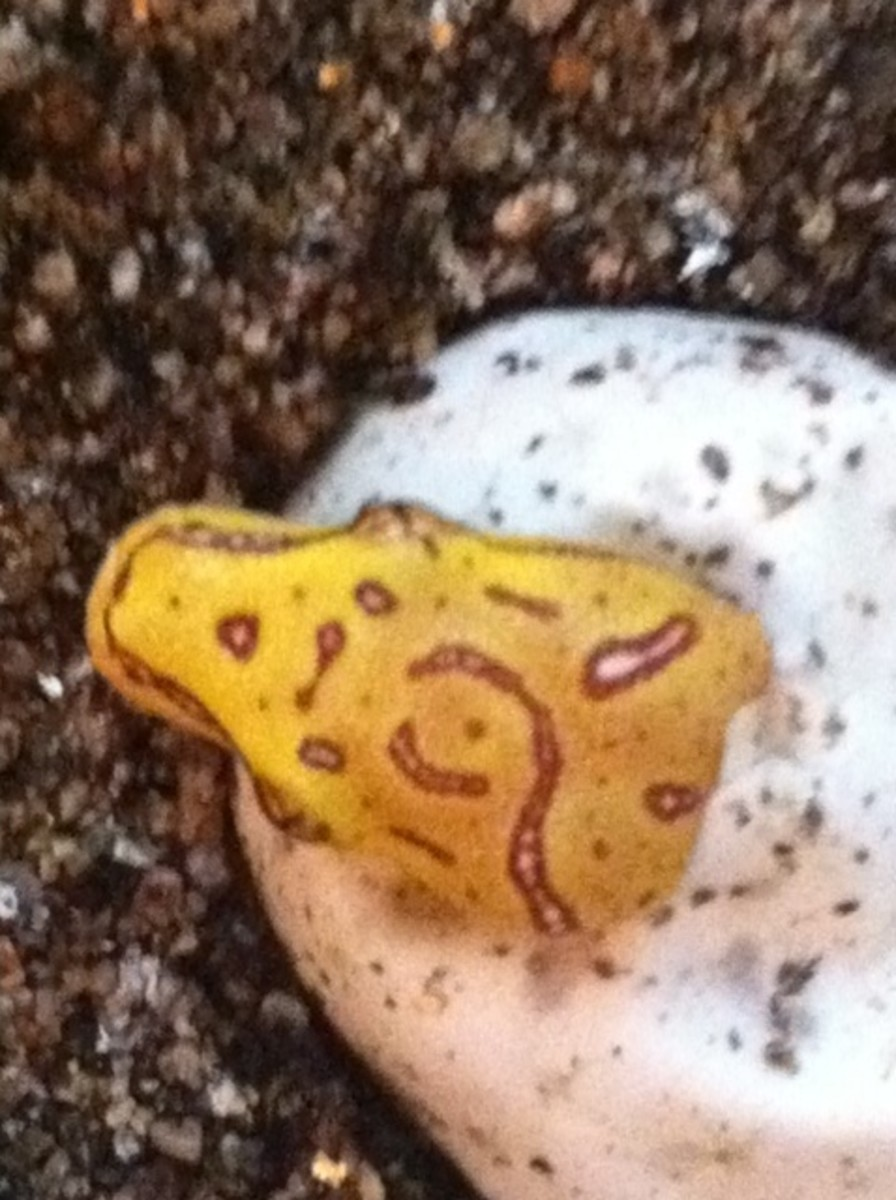 Green Tree Python hatchling (not new)