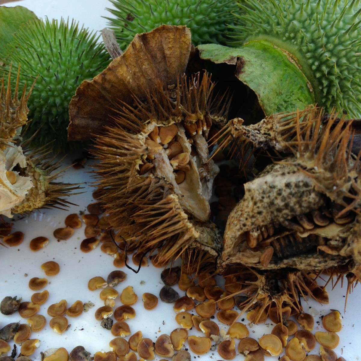Abundant seeds of the Datura grow in spiky green seed balls. As the seed ripen, the seed ball burst open, generously dispersing the seed.