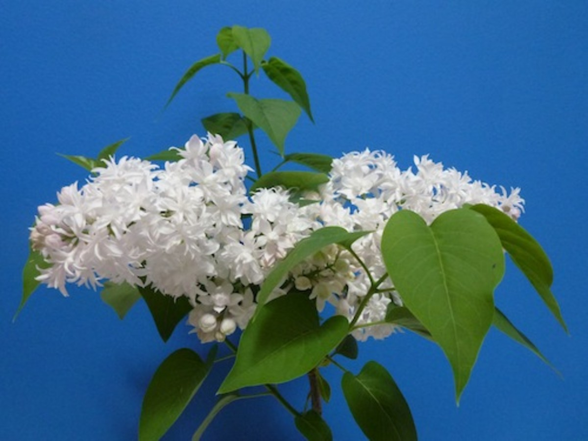 Grow as a specimen plant or create a privacy hedge.