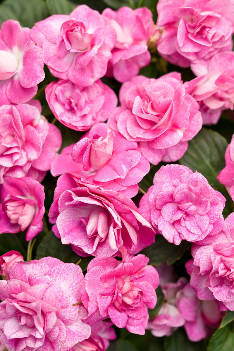 Rockapulco® rose Double Impatiens