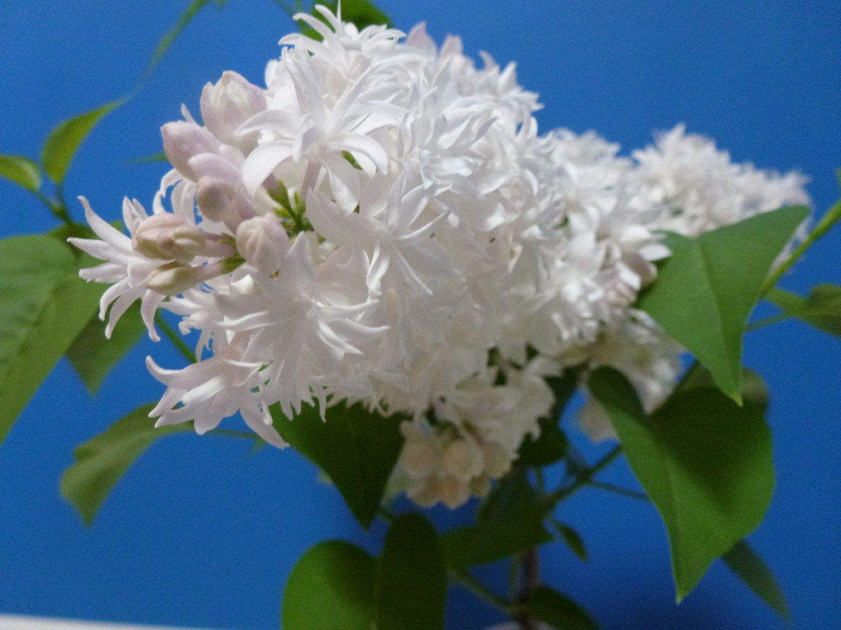 Beautiful white flowers, shrubs, and lilacs
