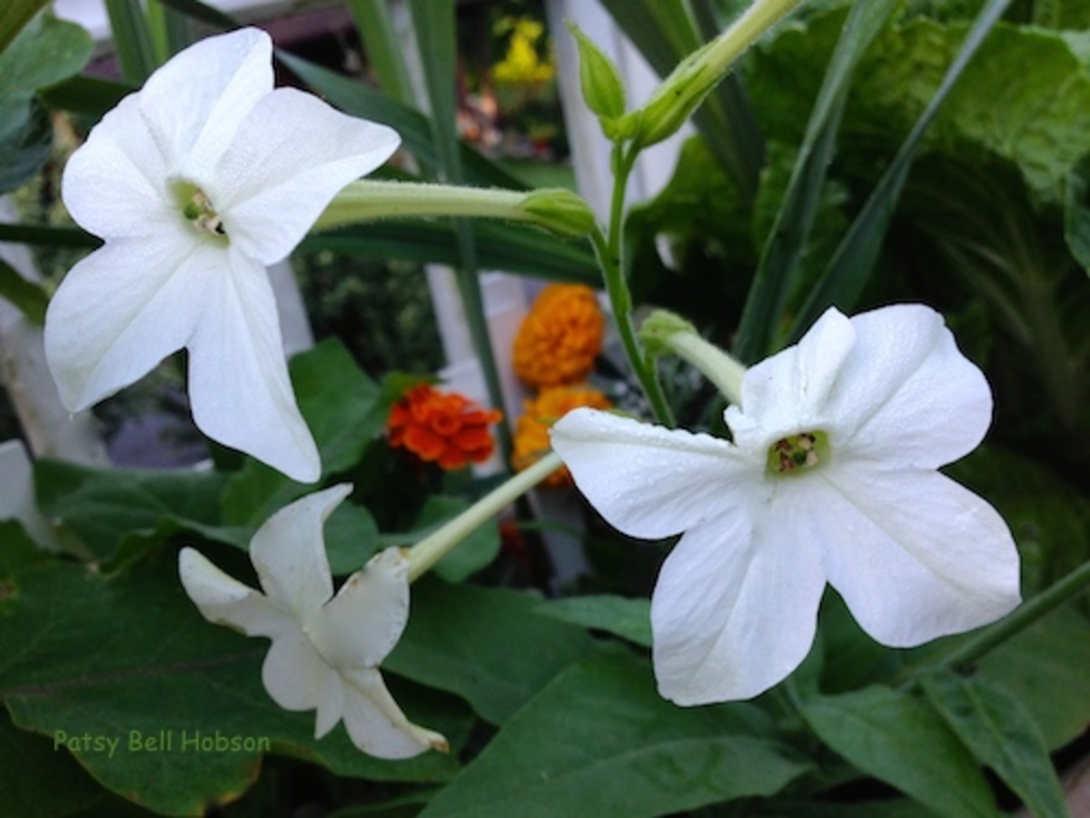Tobacco 'Jasmine' Nicotiana alata fragrance is only  really noticeable en masse.