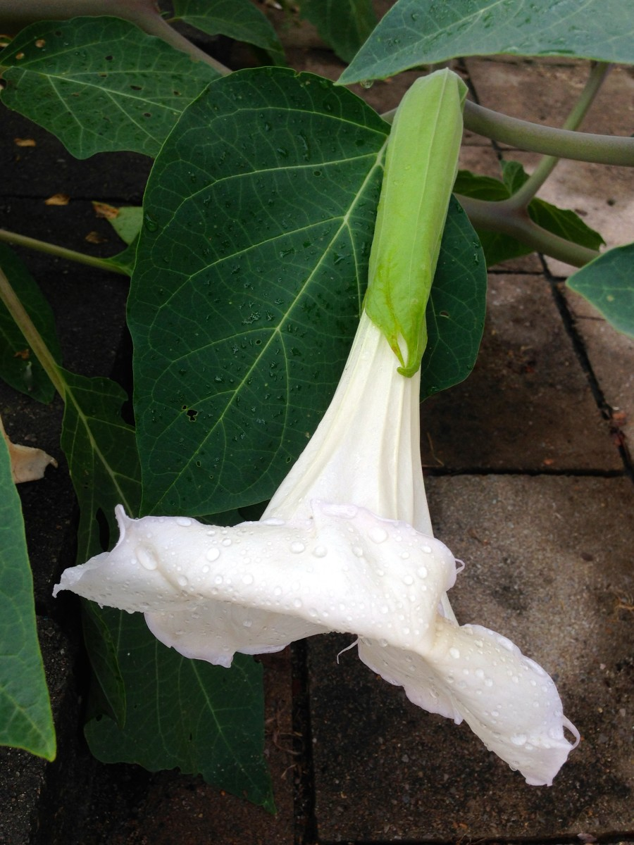 Datura meteloides will bloom during a rainy, cloudy day, or may still be blooming on a very foggy morning.
