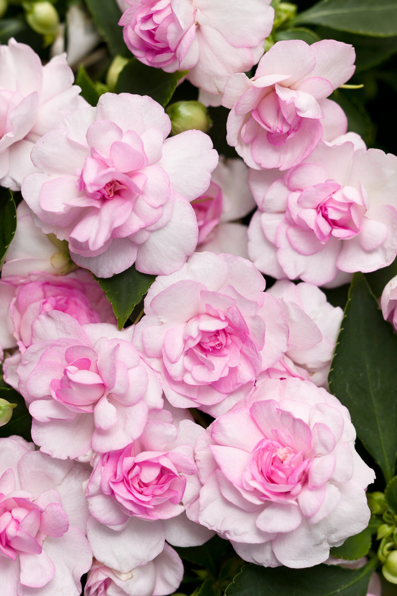 Rockapulco® appleblossom Double Impatiens