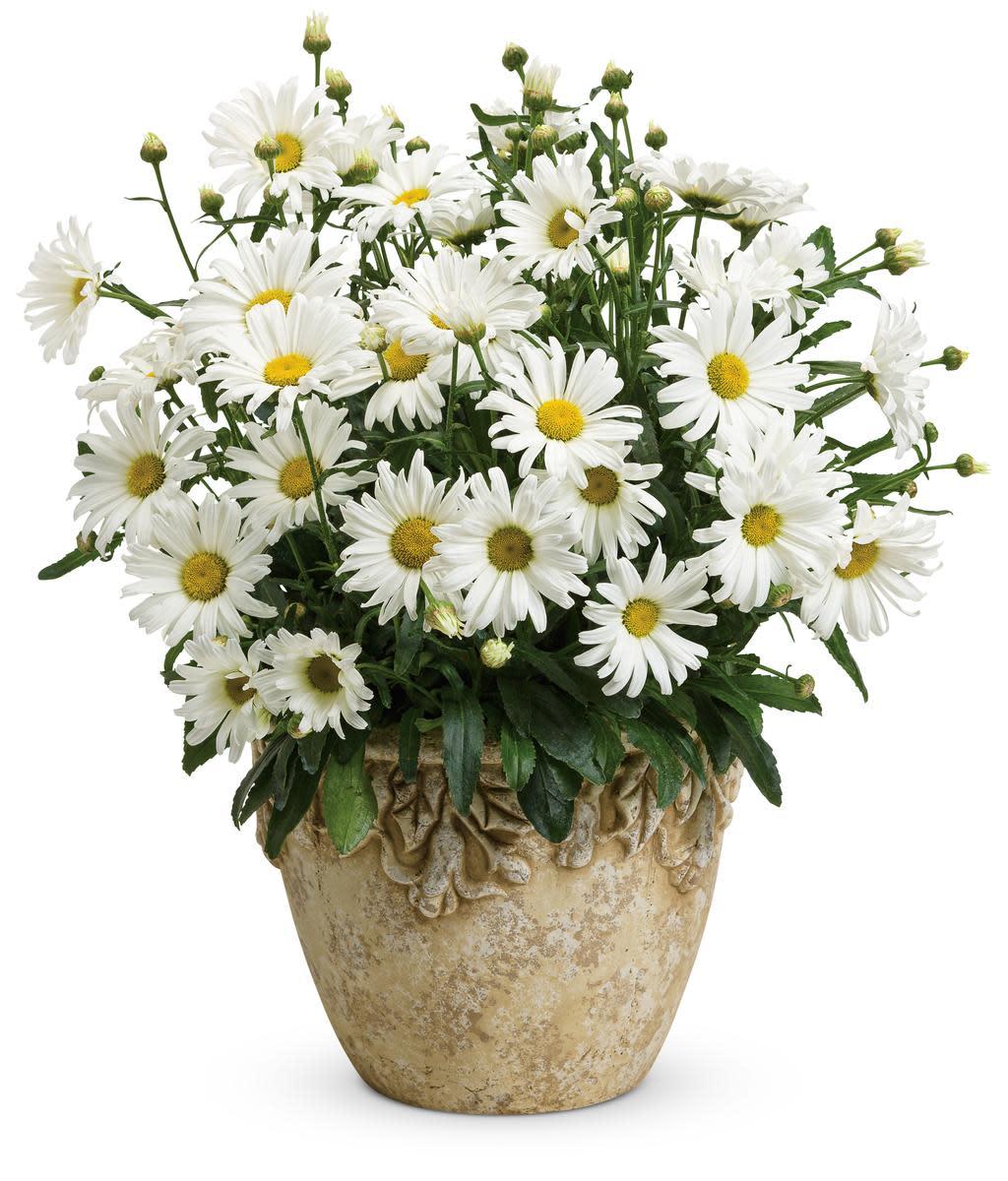Amazing Daisies™ Daisy May® - Shasta Daisy - Leucant