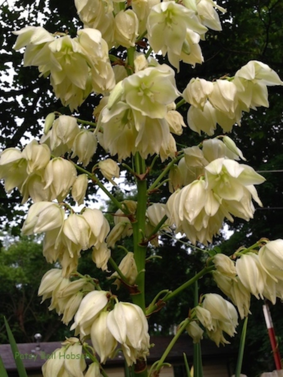 Yucca's usually bloom once a year, pushing up creamy white flowers yearly.