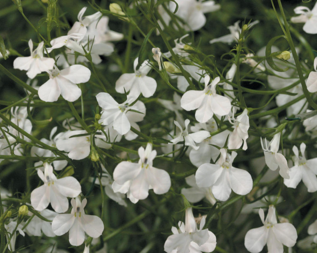 Laguna™ White - Lobelia erinus - white flowers all season on cascading plants