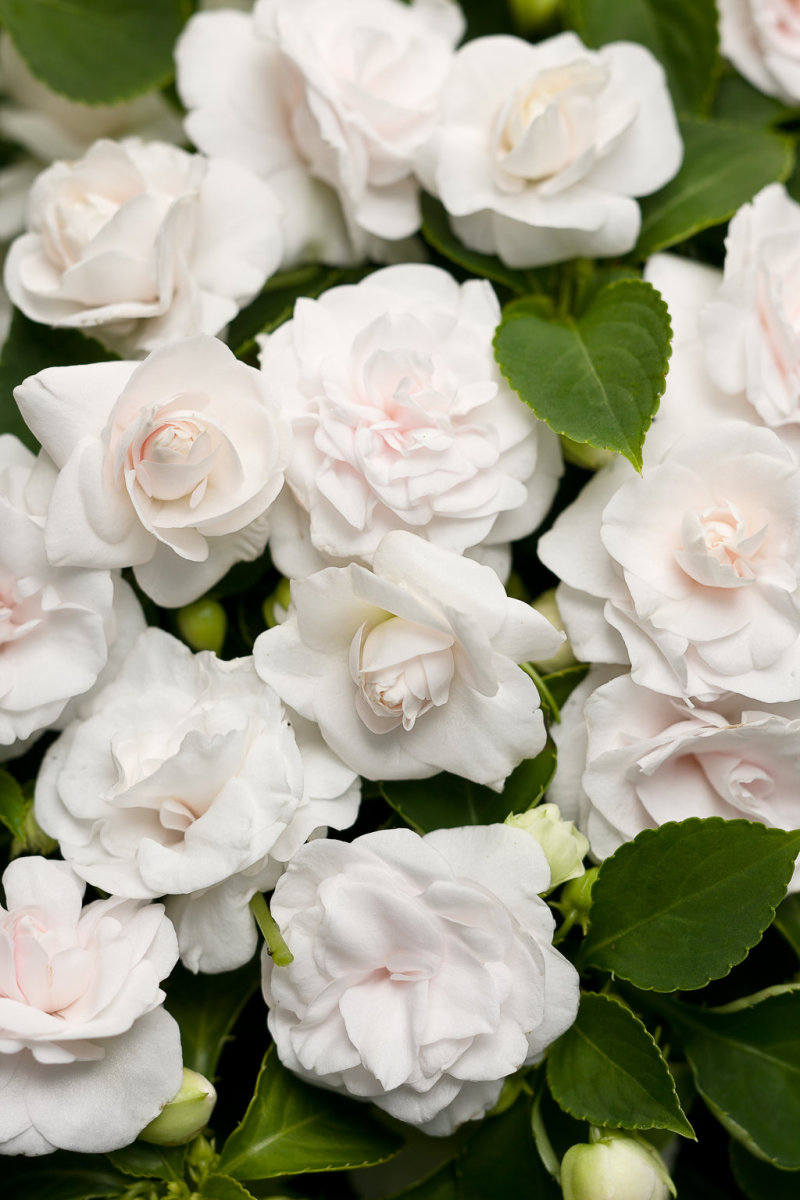 Rockapulco® white blooms that resemble miniature rosebuds.