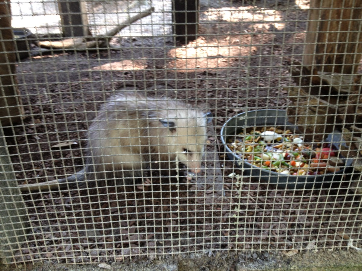 One of the rescued male possums enjoys a colorful meal of fresh veggies.