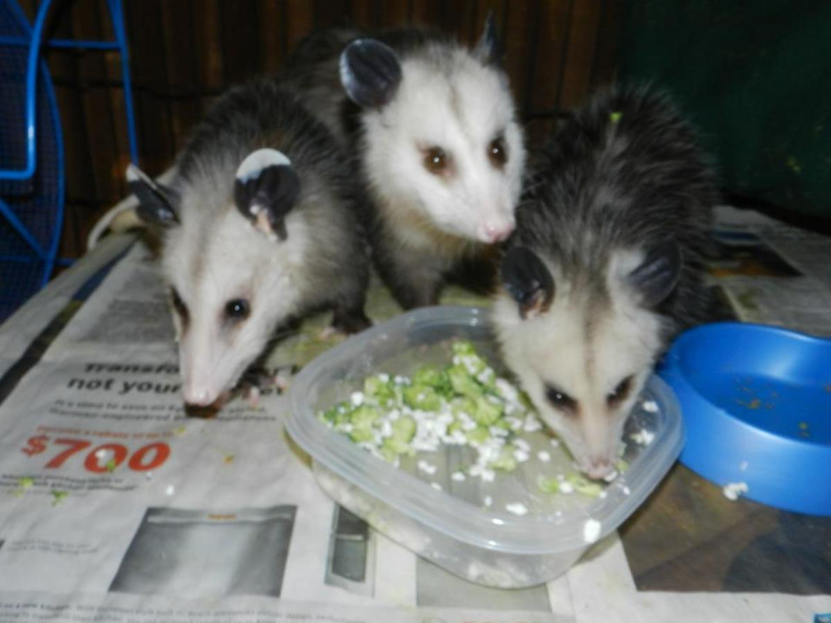 These are three of the original six rescued baby possums.