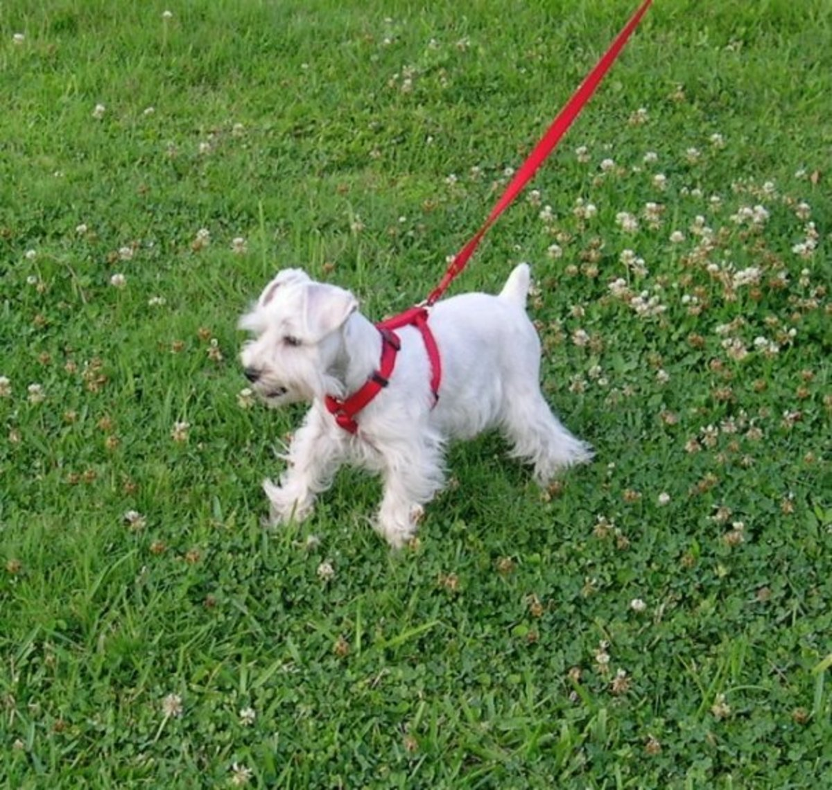fireworks-and-how-they-affect-my-miniature-schnauzer