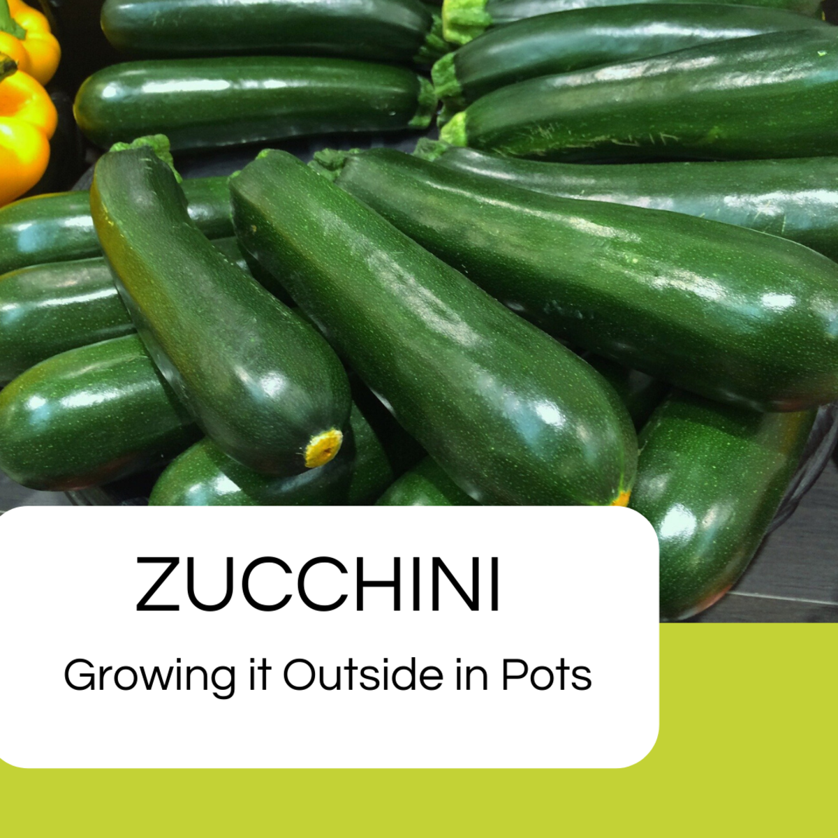 Growing zucchini at home is really easy.