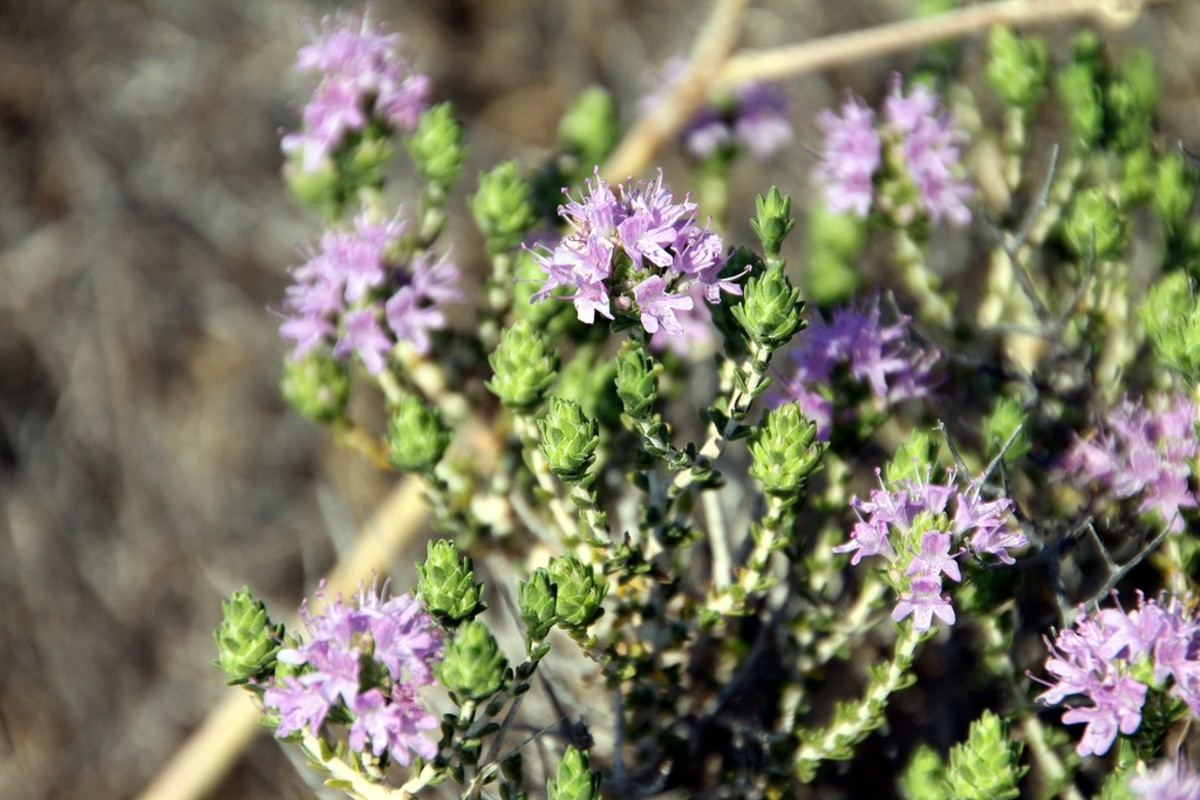 not as sweet as other choices, thyme is still a very popular herb to use.