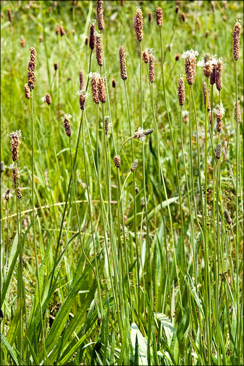 Plantago L. (narrow leaved fleawort)