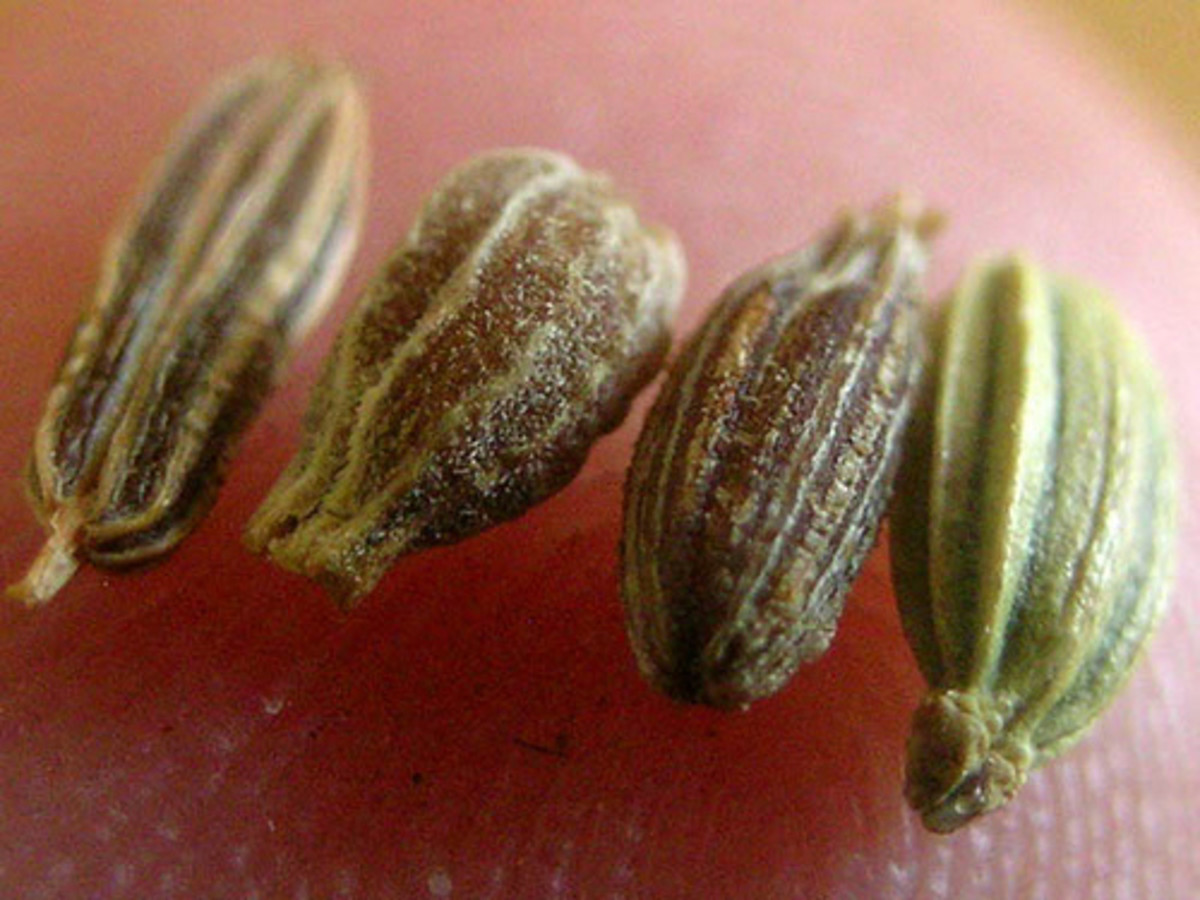 Caraway, Anise, Cumin and Fennel seeds all look the same.