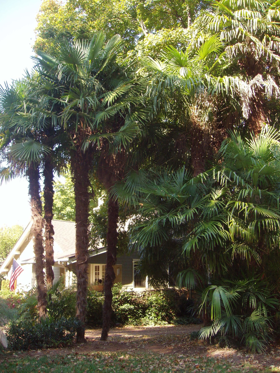 Long Island, NY is the home of this 45-year old patch of palms. They must cover them in winter to survive.