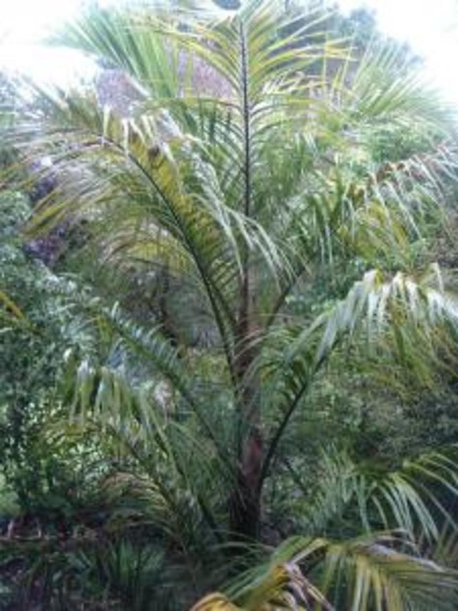 Dublin Ireland's famous Palm Juania Australis