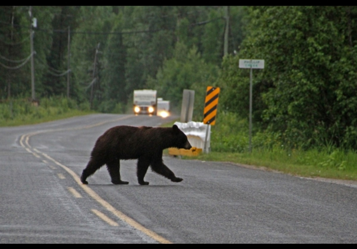 'seeing bears on the road'