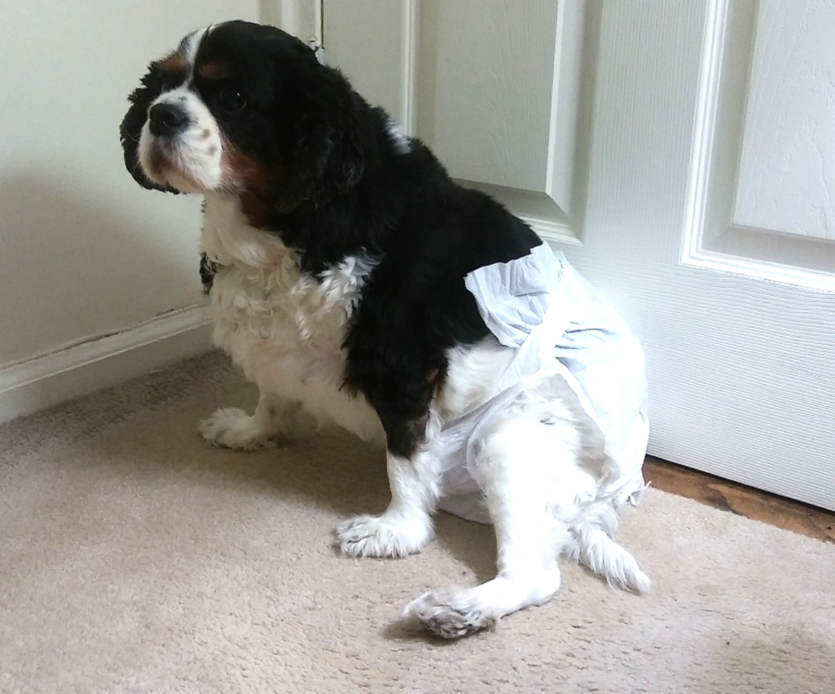 The Best Female Dog Diapers (A Reviewer's Guide For Diapers That Won't Fall Off Easily)