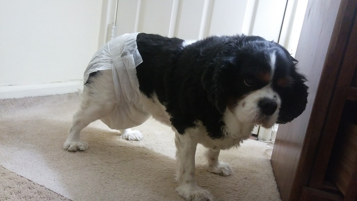 the-best-dog-diapers-a-reviewers-guide-for-diapers-that-wont-fall-off