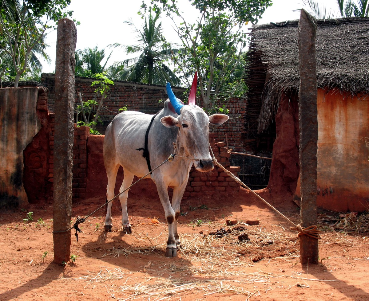 cow with painted horns for the pongal festival
