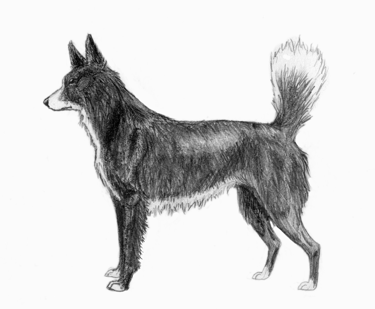 Tahltan Bear Dog Sketch2  By Pharaoh Hound