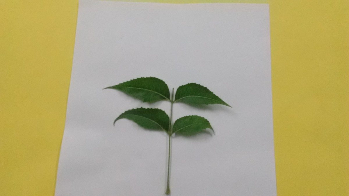 As my subject I have used a twig that has 4 leaves.