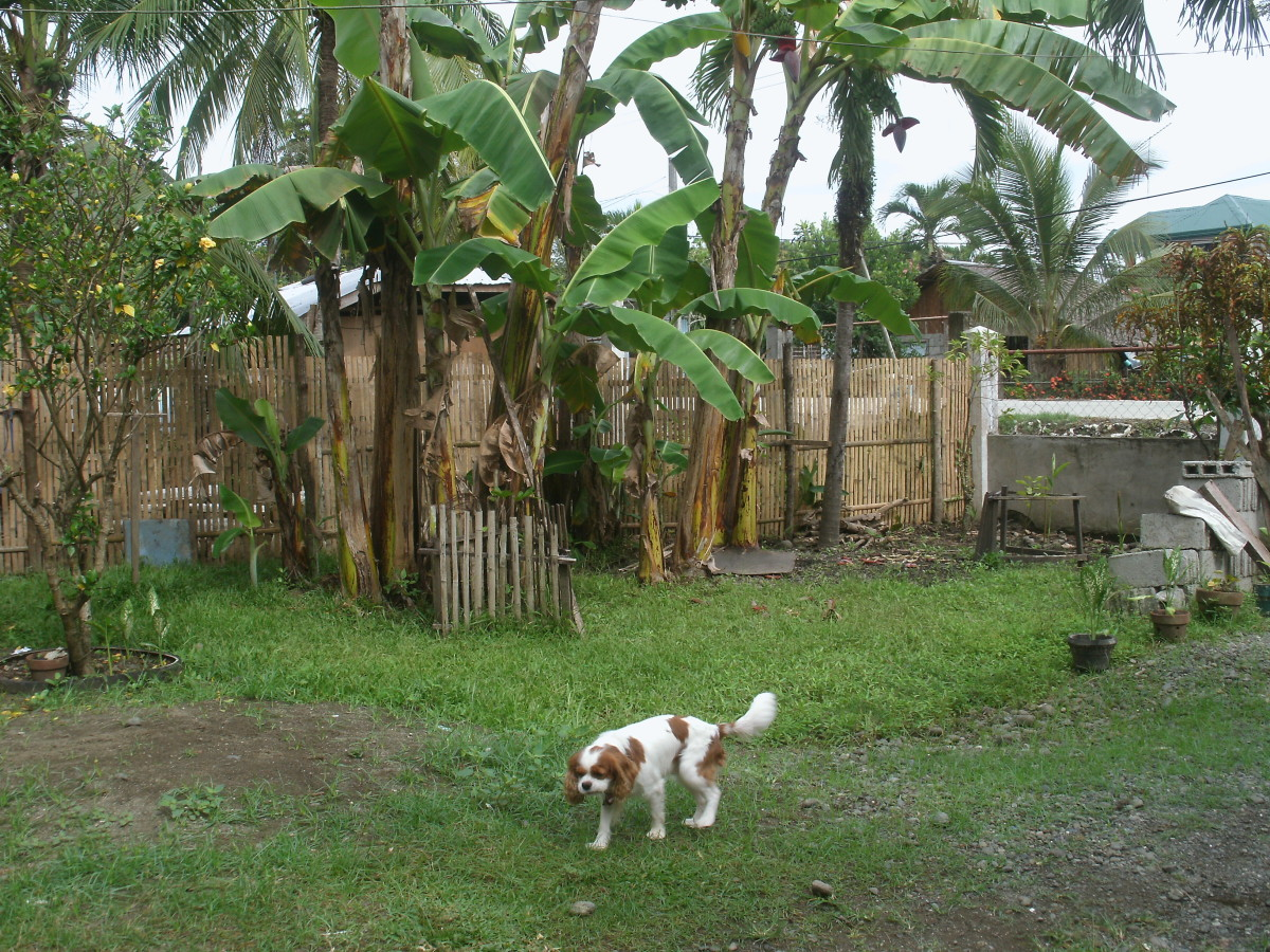 Angus in the Philippines