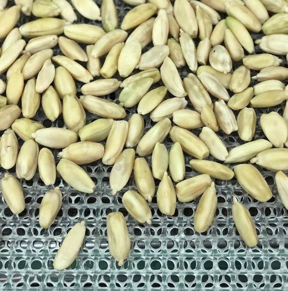 This is what the shelled pili nuts look like.