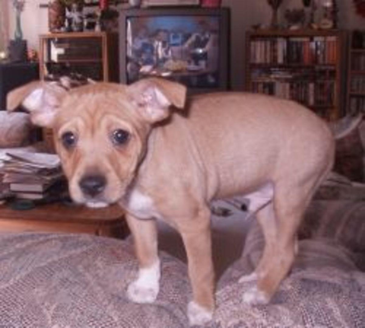 Rat Terrier Life Span