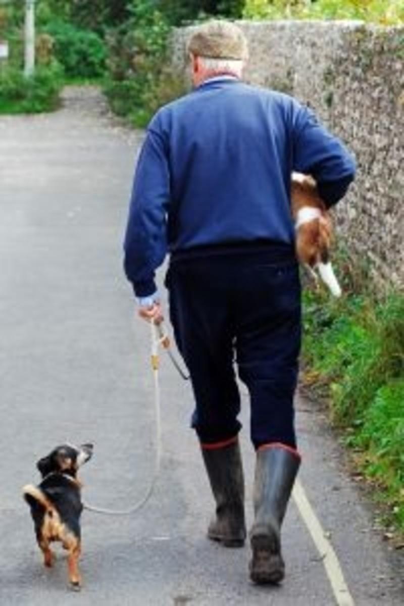 rat-terrier-life-span