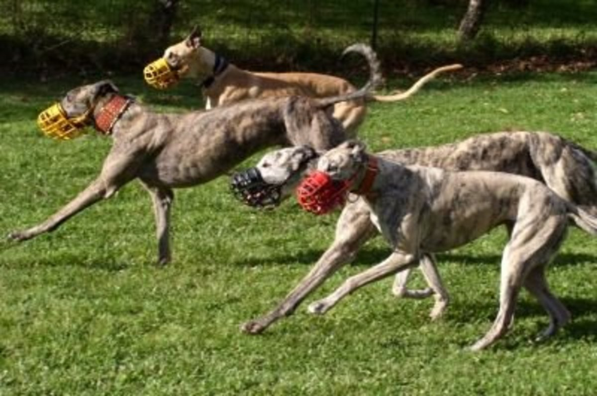 Greyhounds, Born to Run