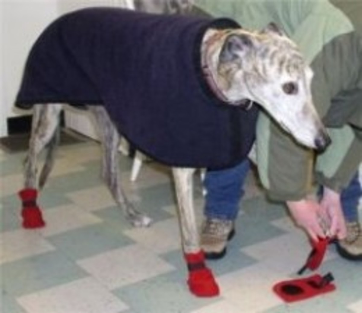 Greyhound learns to wear his winter boots.