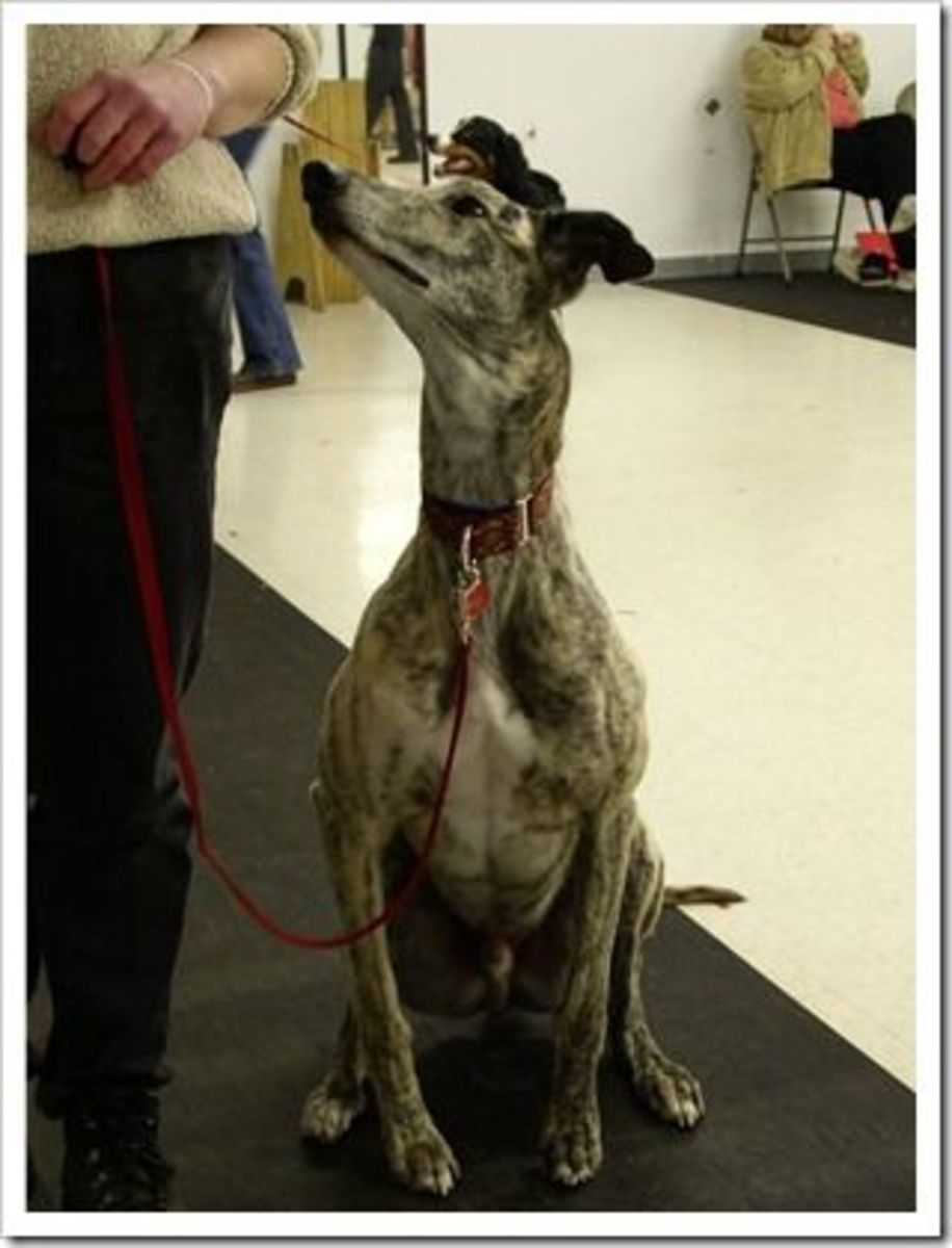 Yes, You Can Teach a Greyhound to Sit!