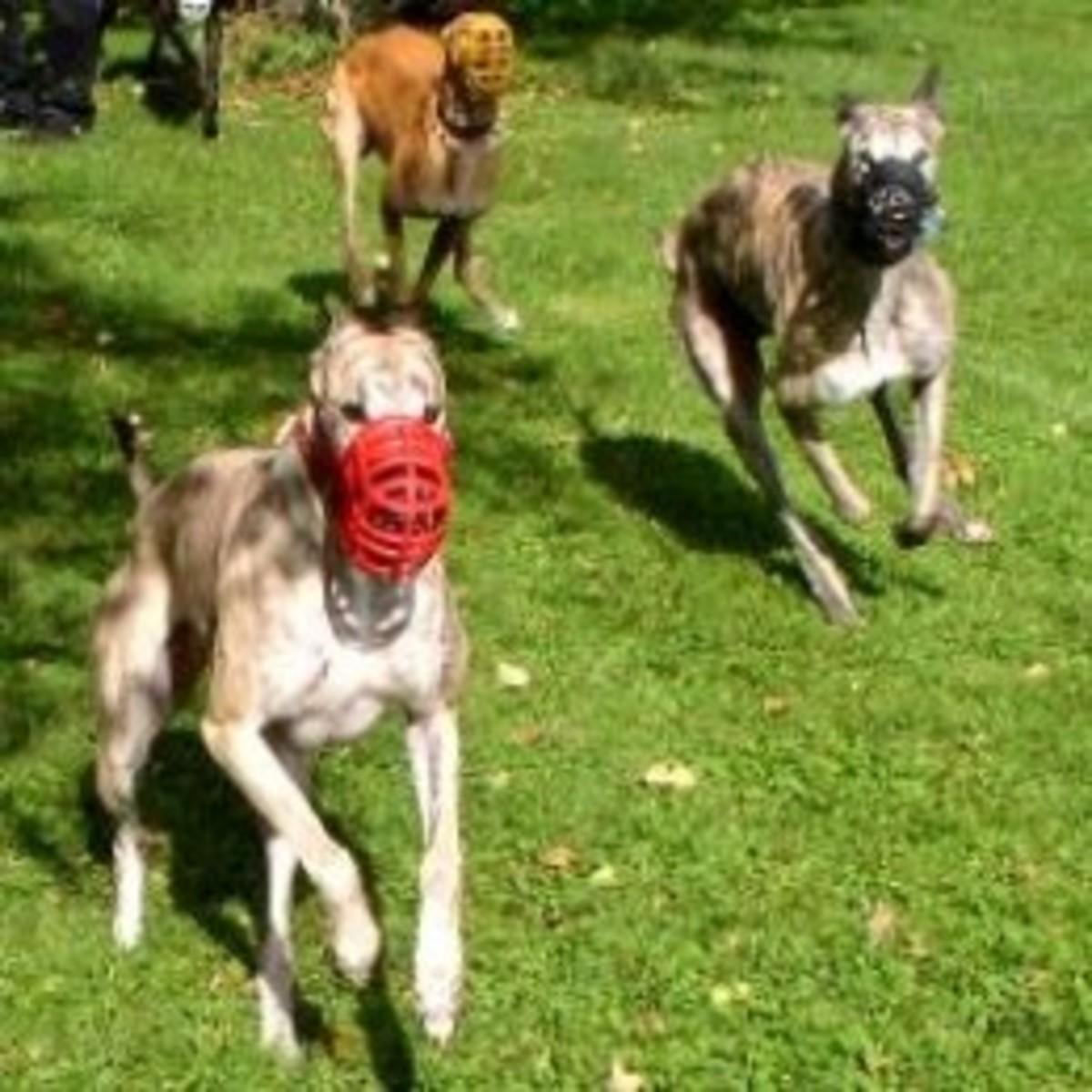 Retired Racing Greyhounds