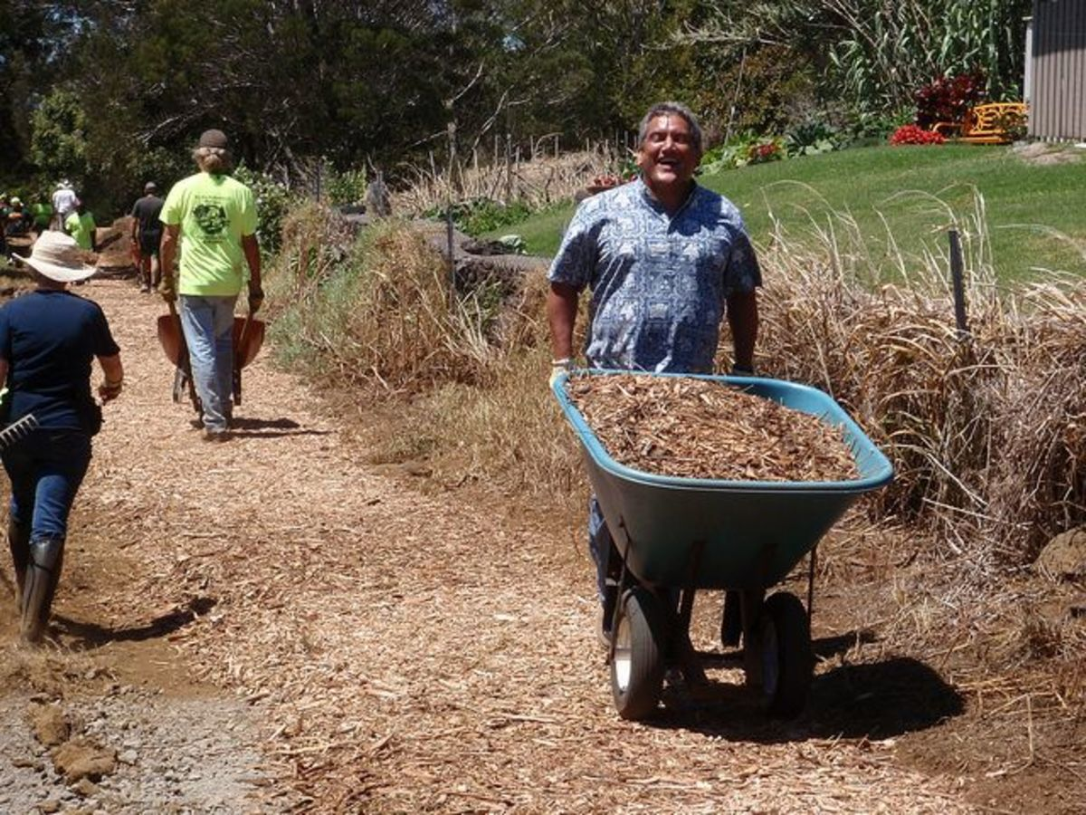 Hawaii County Mayor Billy Kenoi lending a hand in Waimea to help spread wood chips on the volunteer-built Waimea Trails and Greenways project.