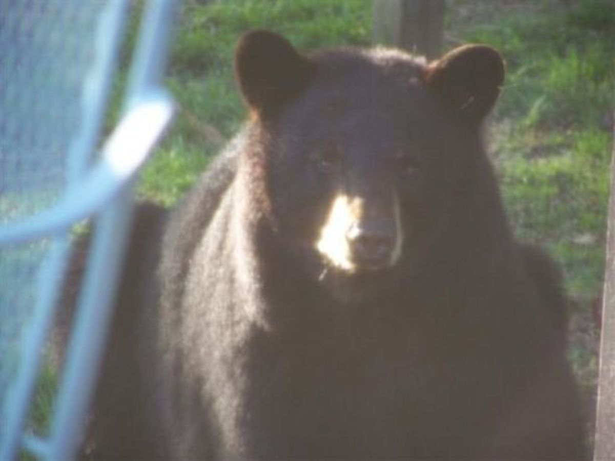 Black Bears In Our Backyard! Are My Photos as Good As Tom Sears?