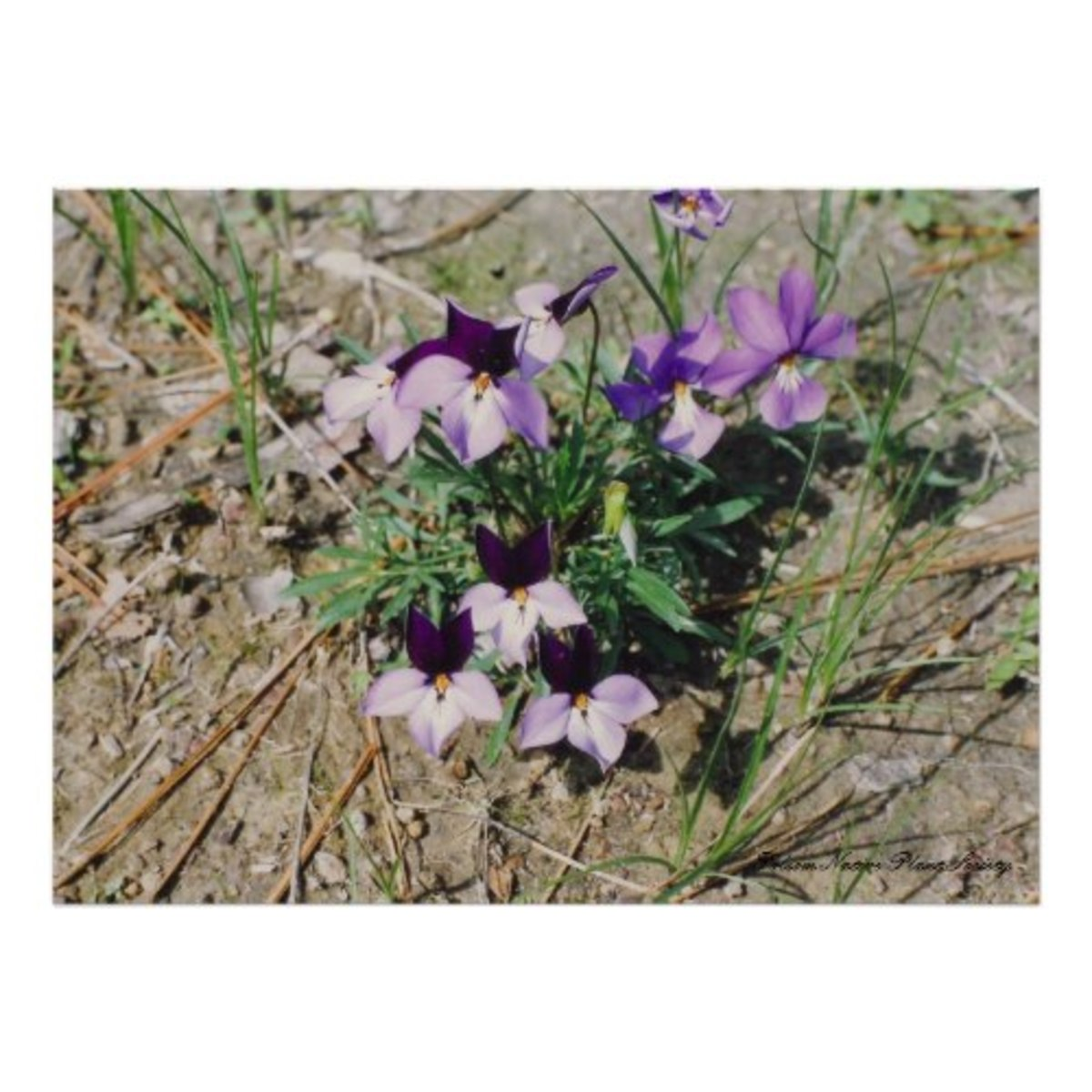 Birdfoot Violet (Viola pedata)