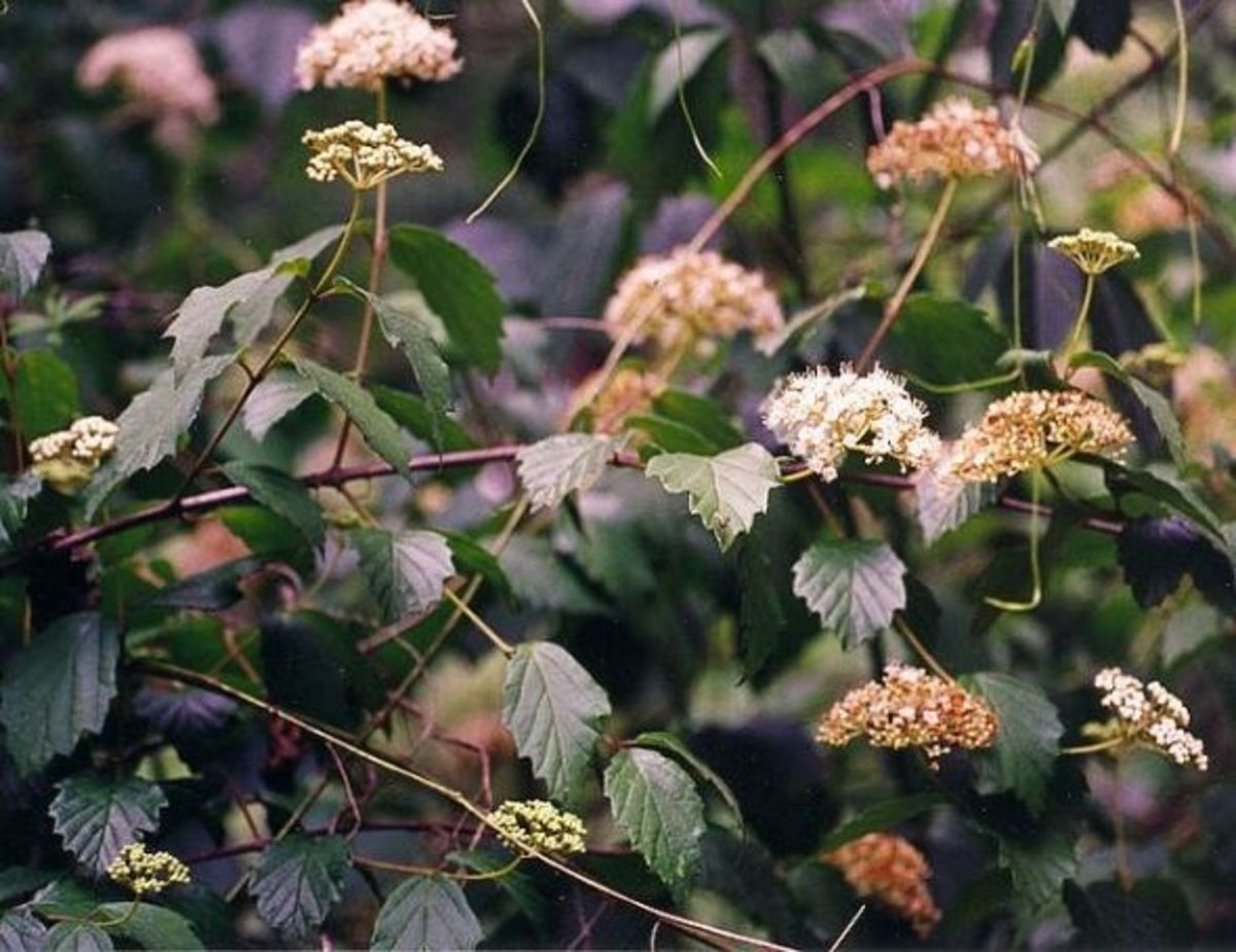 Arrow Wood Viburnum is a larval host plant. Its blooms are foraged by a variety of other pollinators.