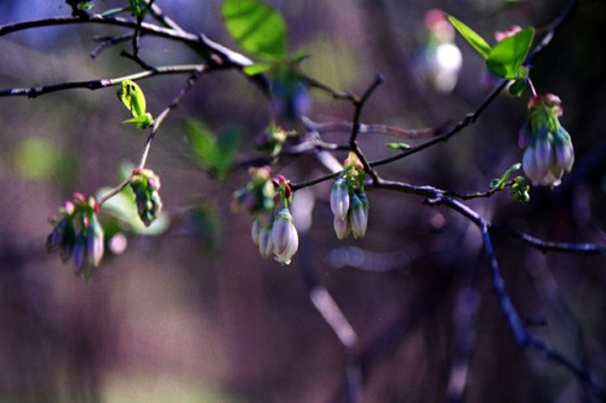 This Vaccinium is also called wild blueberry.