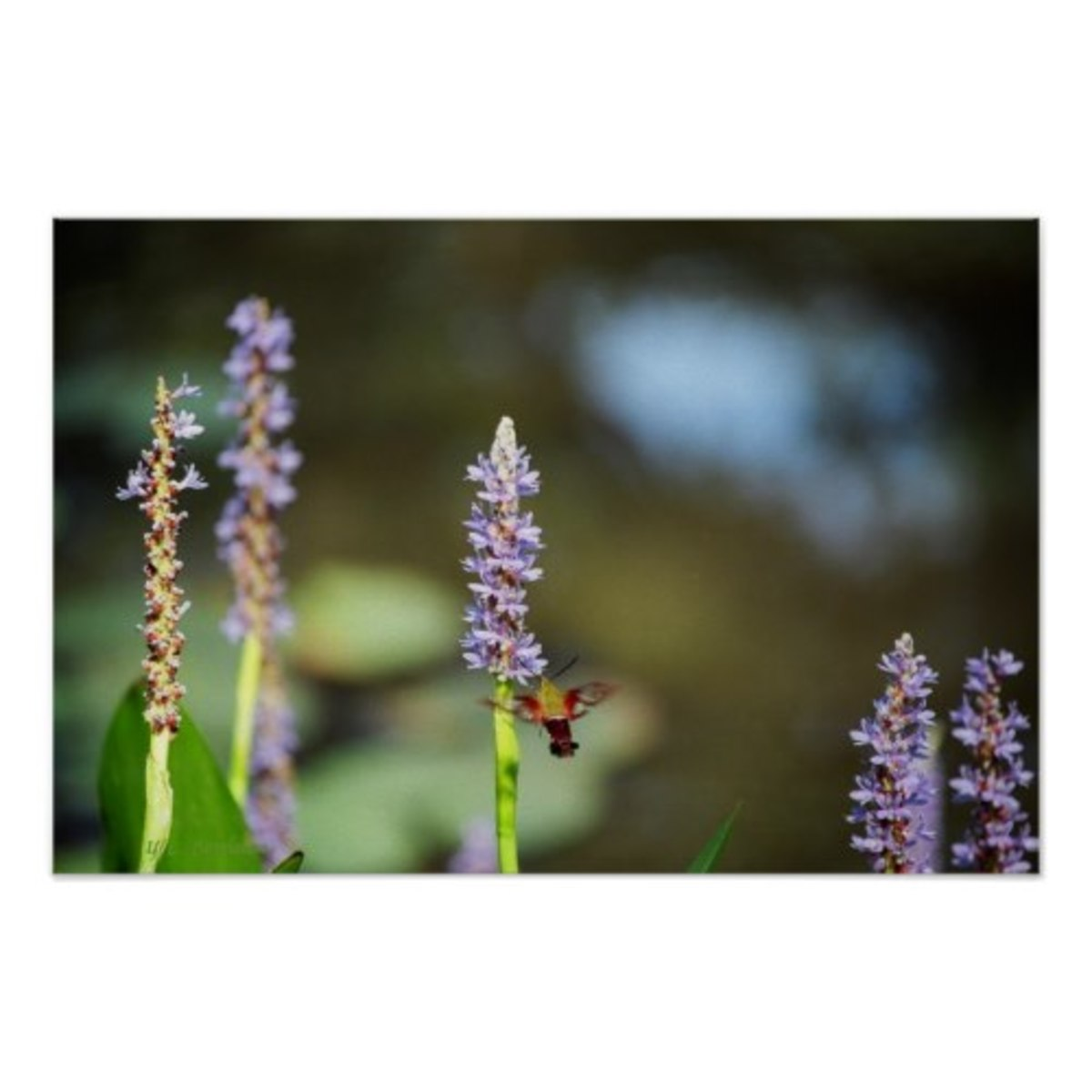 Pickerel weed is a versatile native plant that grows in wet areas. It is a favorite of many pollinators including hummingbirds, butterflies, bees and moths.