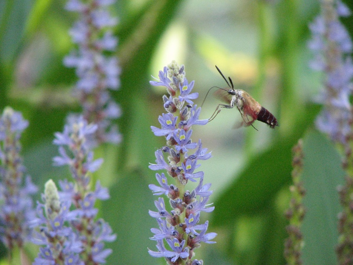 Pickerel weed is a favorite nectar plant.