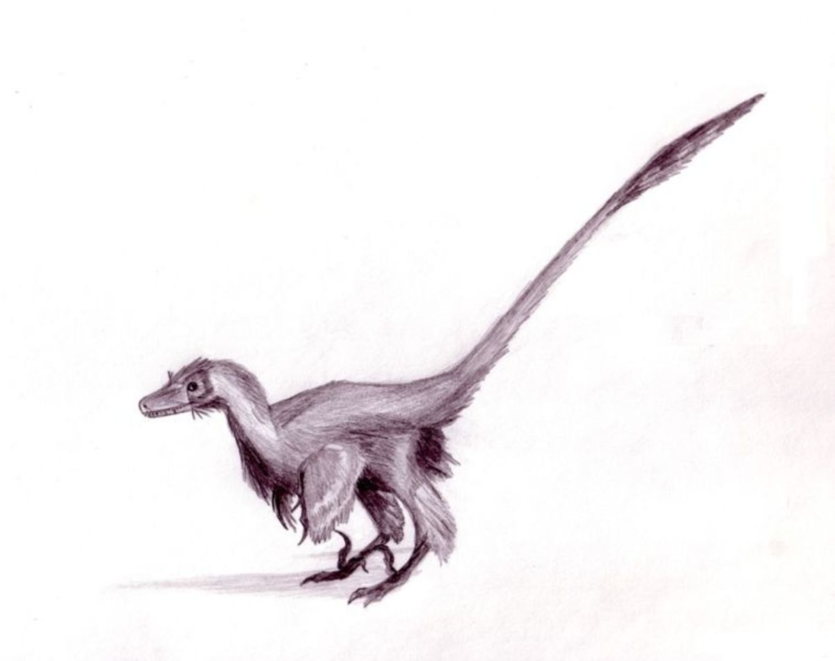 An artist's rendition of a feathered velociraptor.
