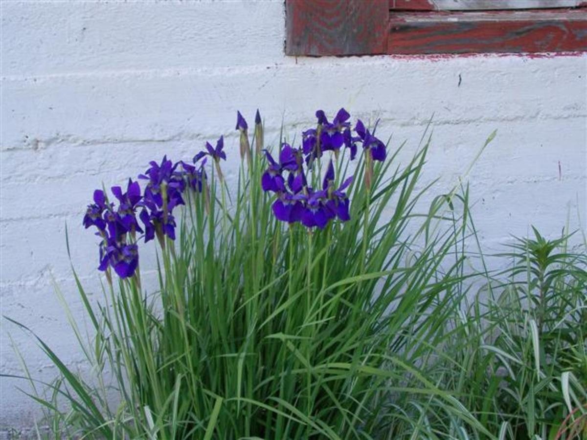 Iris Our Wild Country Garden!