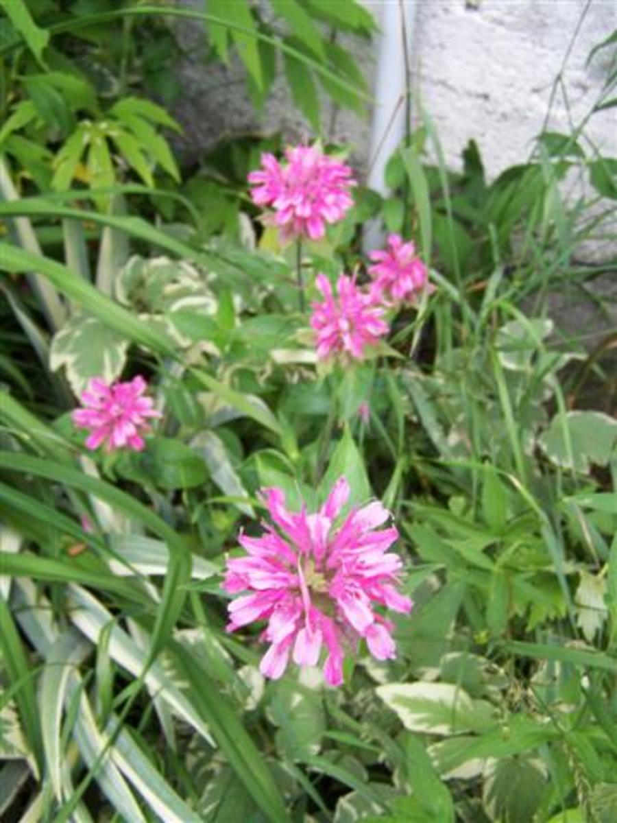 Pink Bee Balm Our Wild Country Garden!