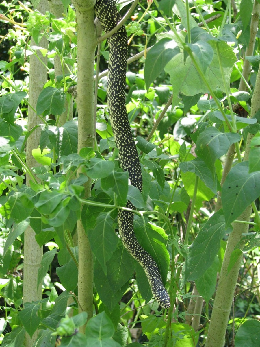 Speckled or Common Kingsnake