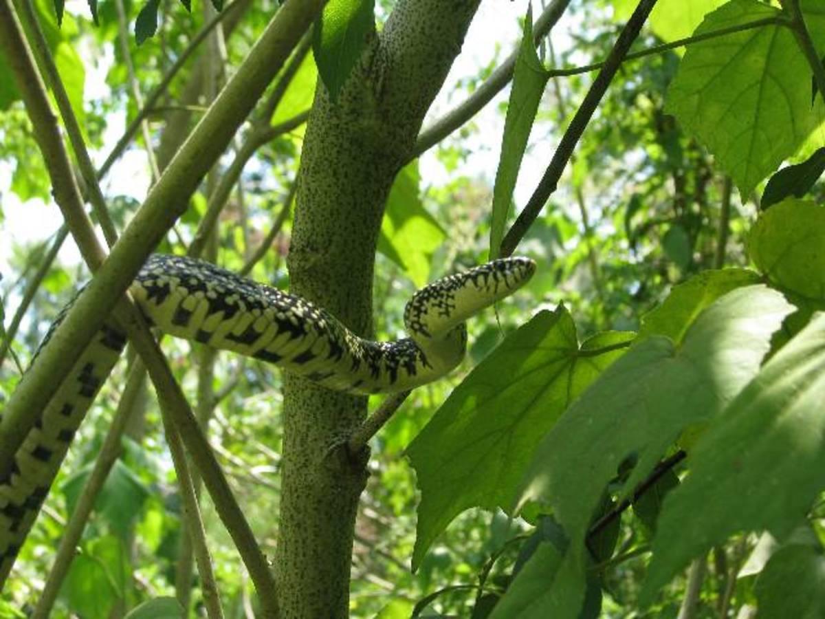 Kingsnakes of Louisiana