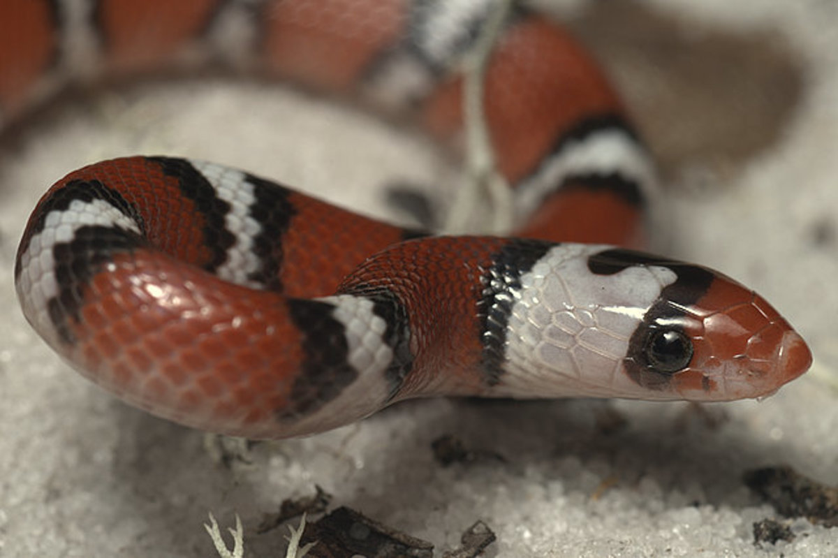 "Scarlett snakes are another of the ""look-alike"" species."