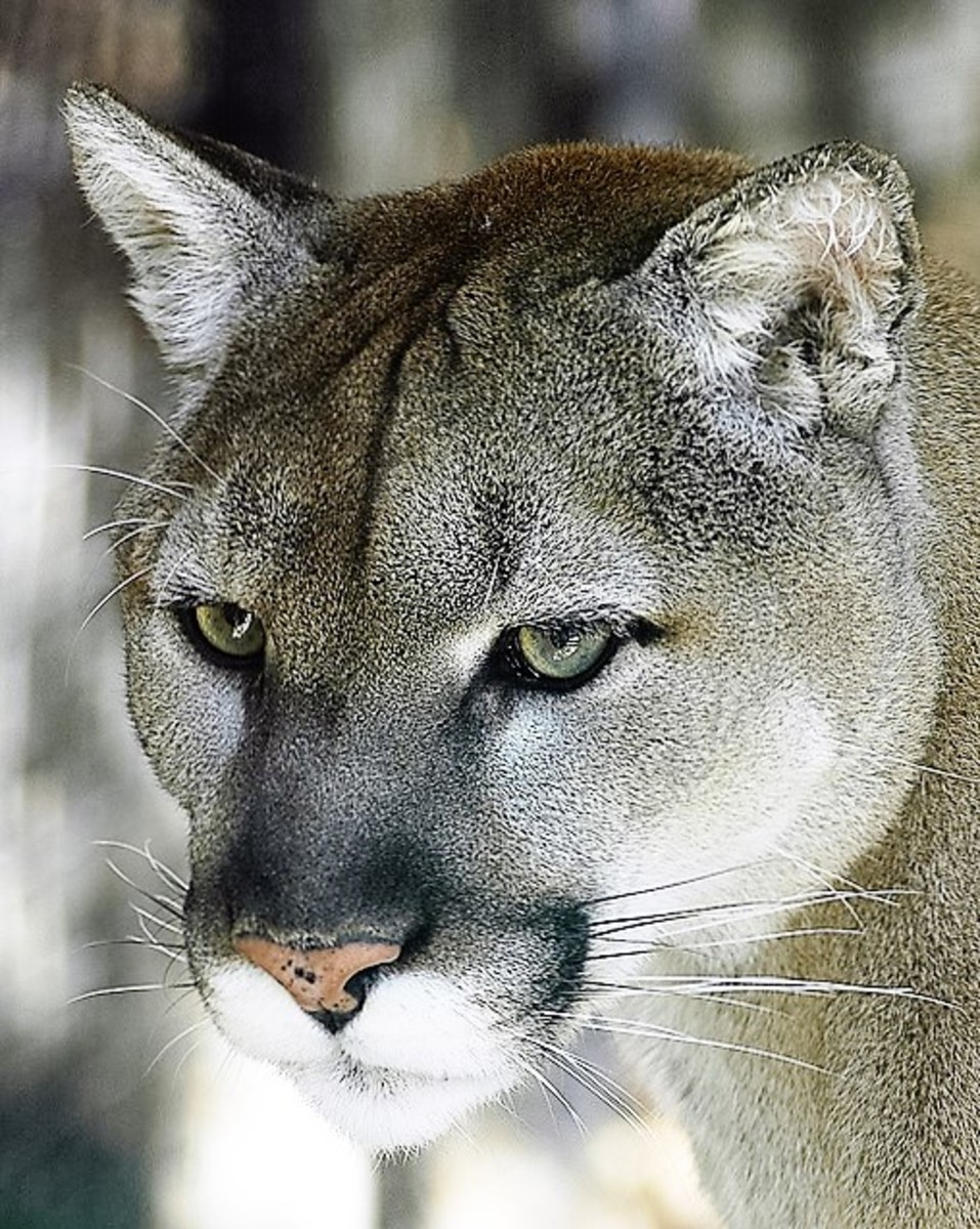 Cougars in the North, Sightings In Wisconsin.